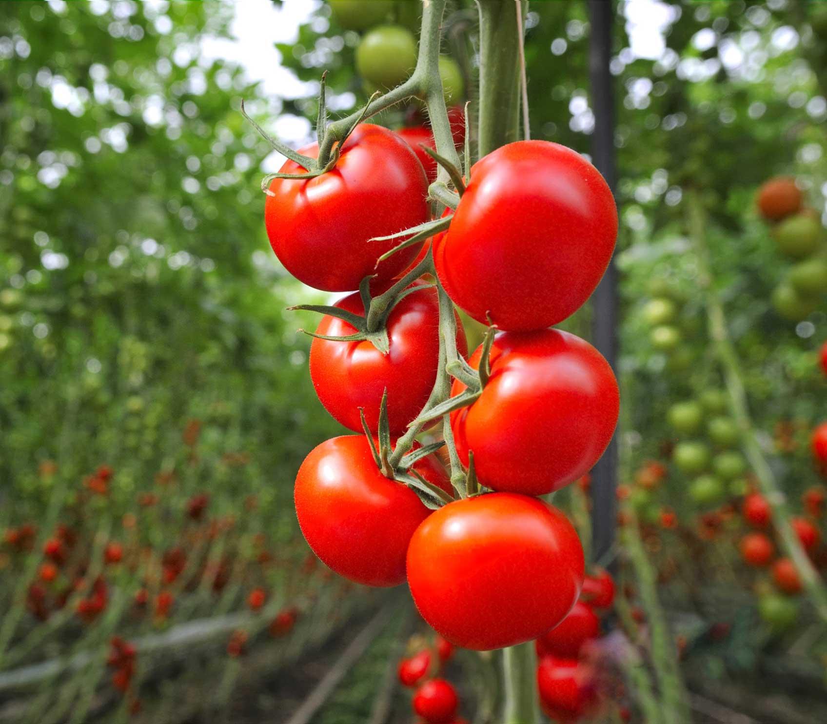 Beaucoup de tomates fraîches
